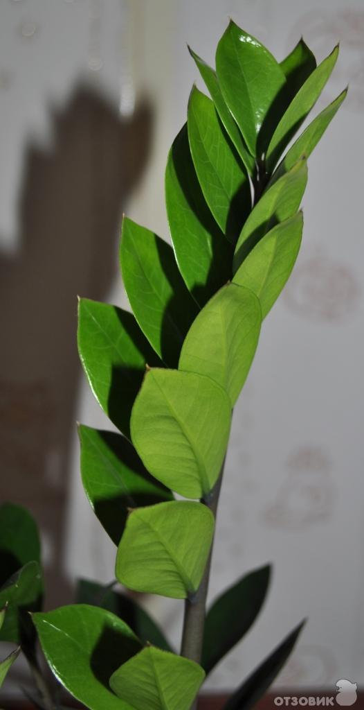 женское счастье фото растение