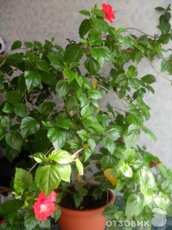 Домашние цветы розан