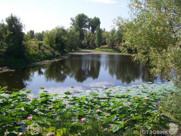 Озеро лотосов волгоград