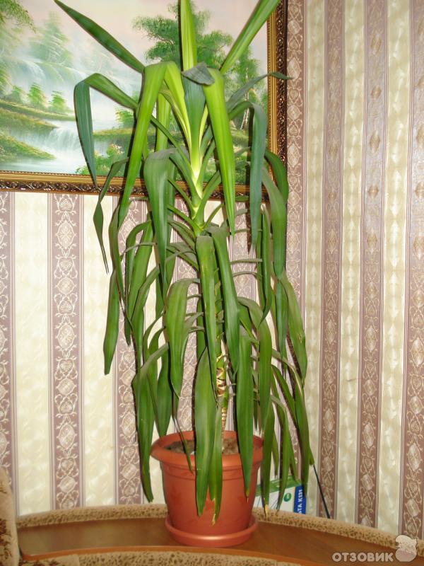 Пальма юкка уход в домашних