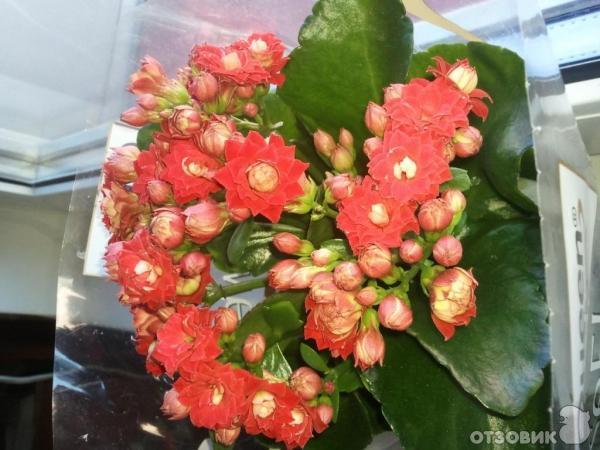 Каланхоэ цветок подарили