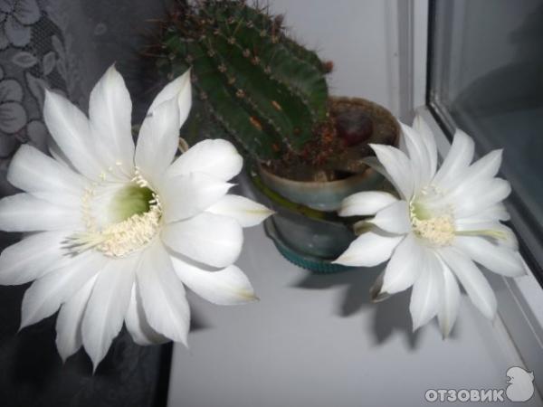 цветы комнатные кактусы фото: