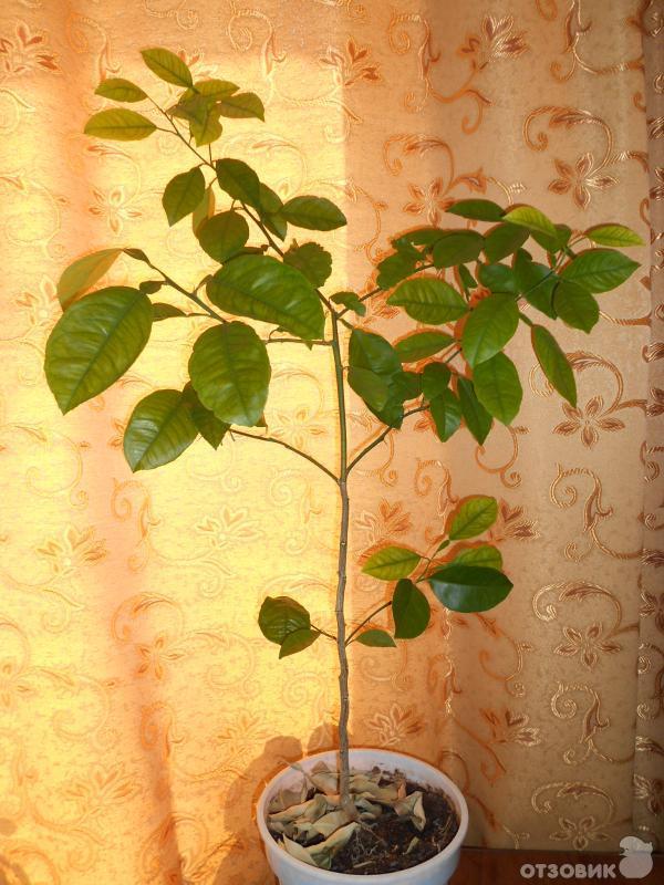 Выращивание мандарина в домашних условиях из косточки 81