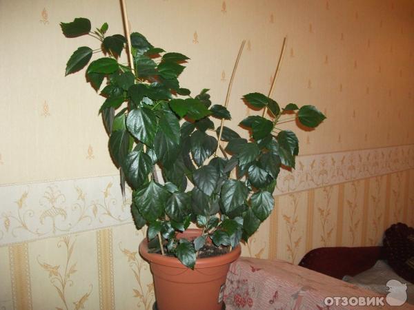 Комнатный цветок-китайская роза