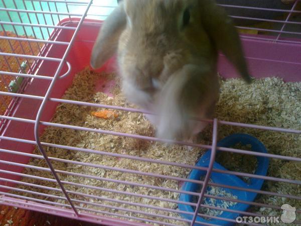 Уход в домашних условиях за вислоухим кроликом
