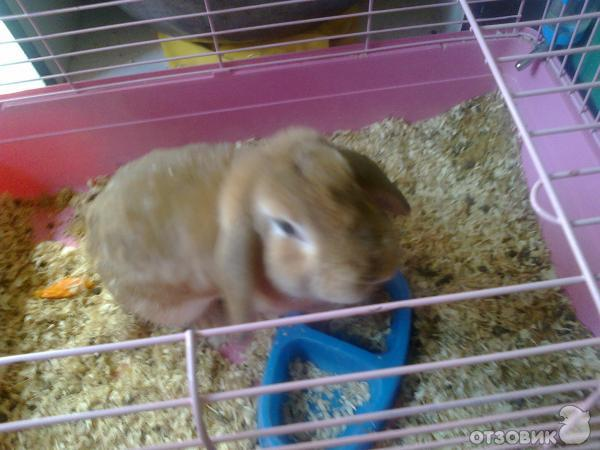 Уход в домашних условиях за вислоухим кроликом 896