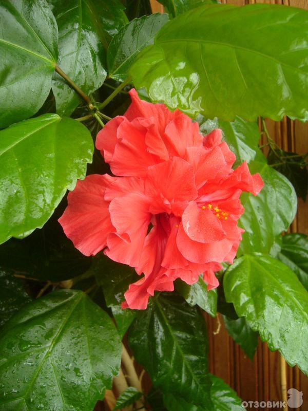 Китайская роза выращивание и уход в домашних условиях 96