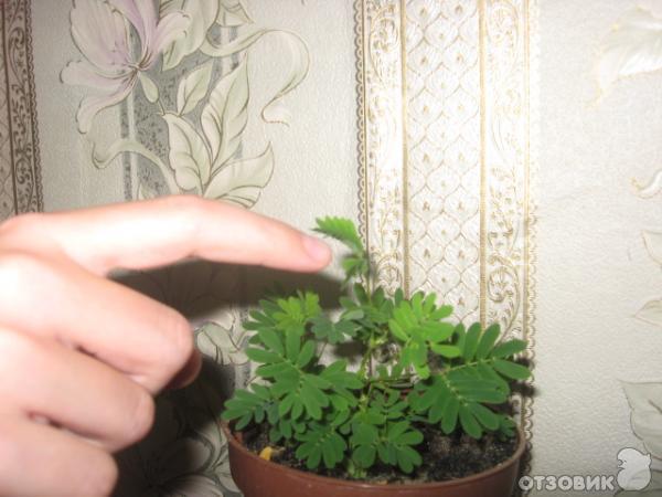 мимоза комнатный цветок фото