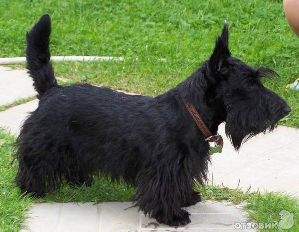 порода собак скотч-терьер фото