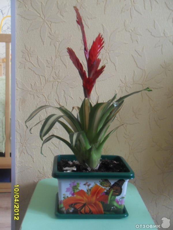 Отзыв комнатный цветок вриезия