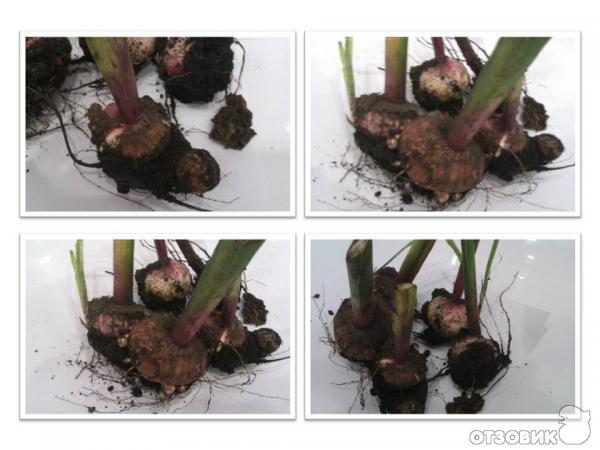 Как сохранить зимой в домашних условиях луковицы