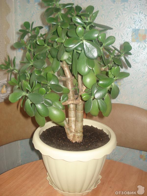 хорошо толстянка денежное дерево фото уход вашим фото